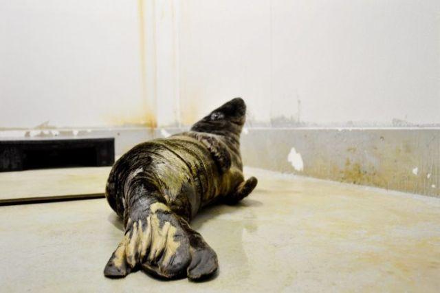 Спасение маленького тюленя (7 фото)