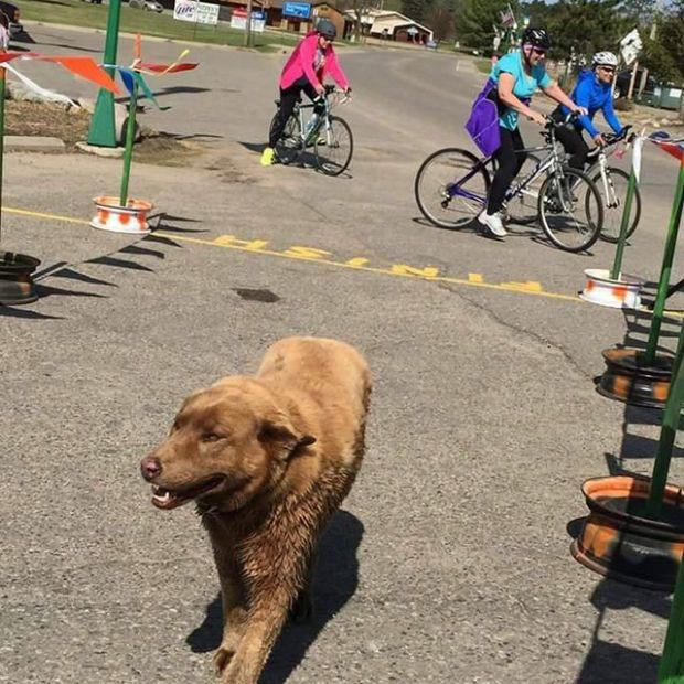 Собака, ставшая звездой Лонгвилла (7 фото)