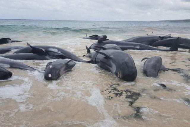 Более 130 дельфинов-гринд выбросились на побережье Австралии (3 фото + видео)