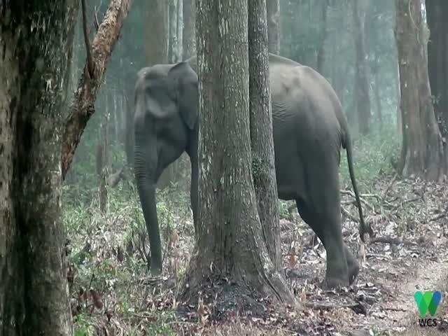 «Курящая» слониха