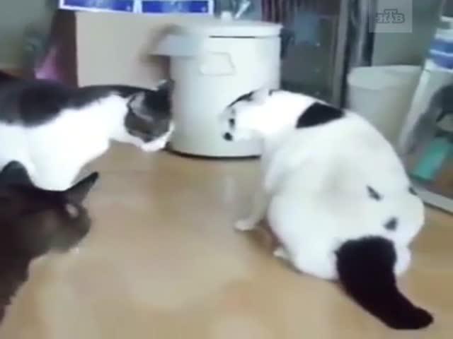 """Толстый """"кот-миротворец"""""""