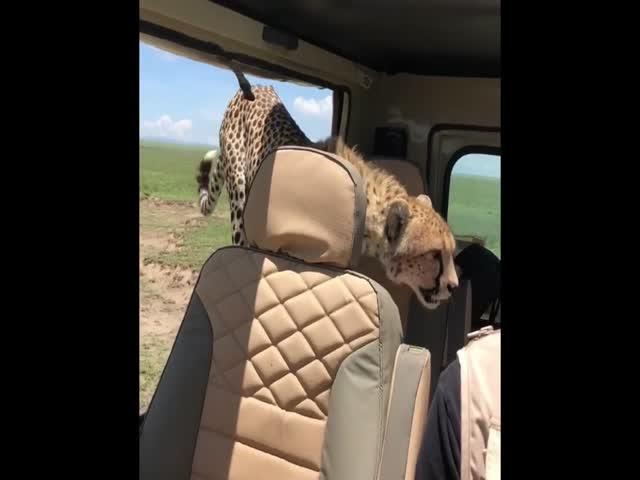 Гепарды заинтересовались машиной туристов
