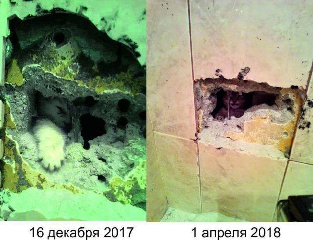 Провалившийся в вентиляционную шахту котенок второй раз вынуждает ремонтировать стену (3 фото)