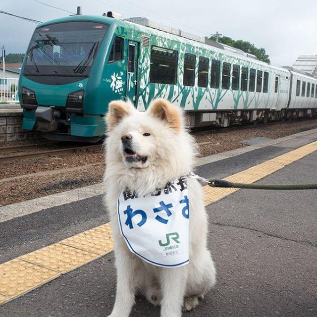 Бездомный пес стал начальником железнодорожного вокзала в Японии (4 фото)