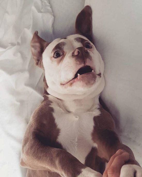 """Собака с нахмуренными """"бровями"""" покоряет интернет (8 фото)"""