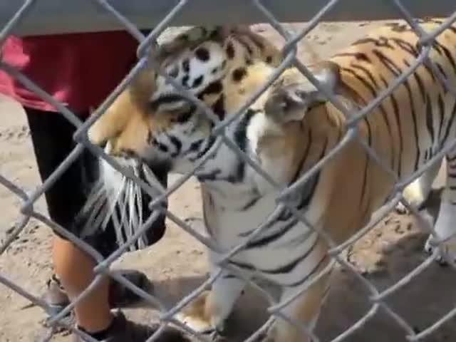 Вот какие звуки издают тигры, когда они довольны