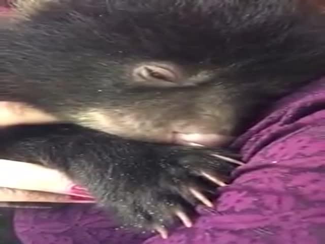 Как урчат довольные медвежата
