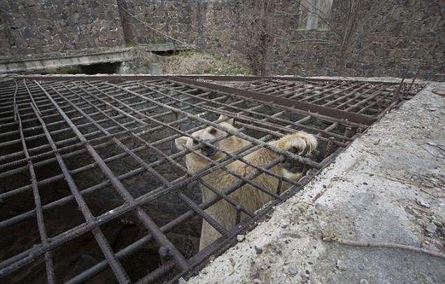 В Армении спасли медведицу, которая прожила всю жизнь в тесной клетке (8 фото)