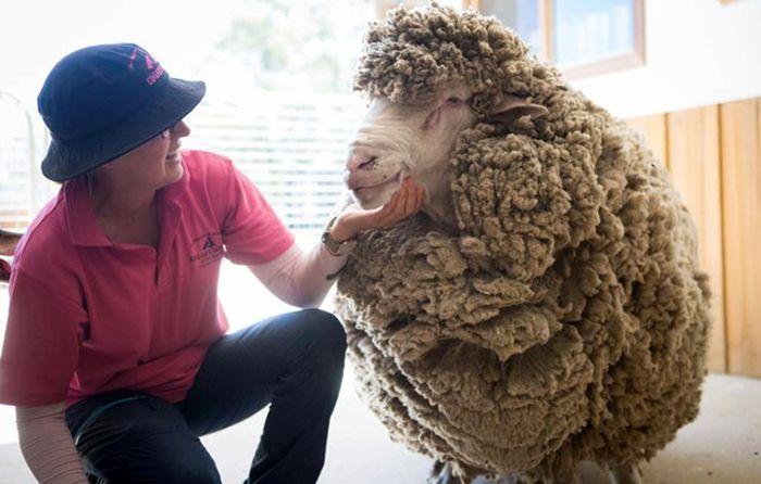 Овца, которую не стригли 4 года, избавилась от тяжелой ноши (8 фото)