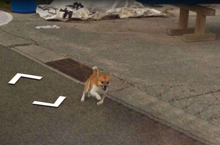 Пес погнался за машиной Google Street View и попал на все кадры (8 фото)