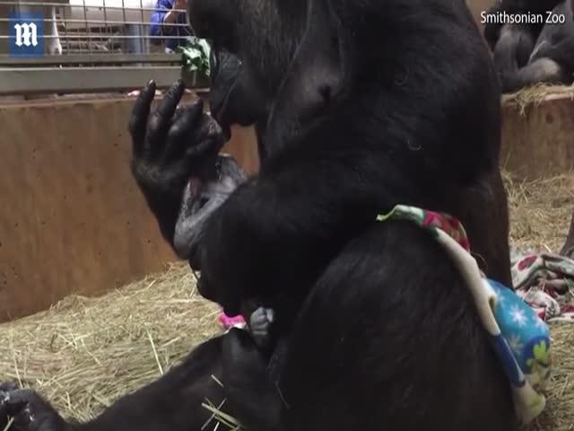 Горилла обнимает и целует своего новорожденного детеныша