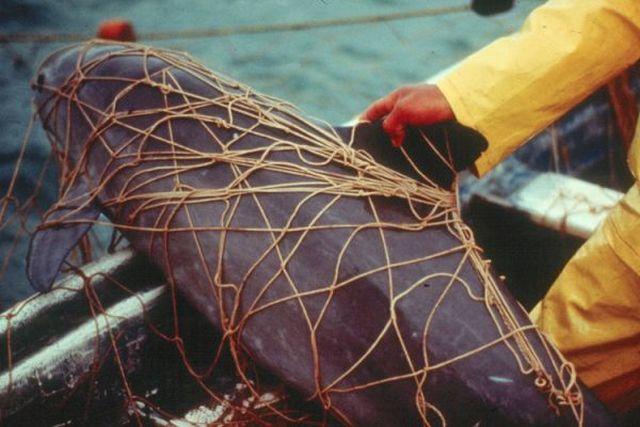 В мире осталось всего 12 особей калифорнийских морских свиней (3 фото)