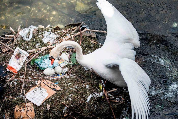 В Копенгагене самка лебедя свила гнездо из мусора и отложила в него яйца (4 фото)