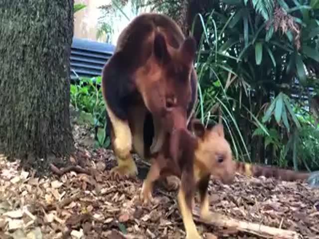 Первые шаги детеныша редкого древесного кенгуру
