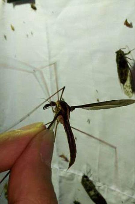 Обнаруженный в Китае комар пугает своими размерами (4 фото + видео)