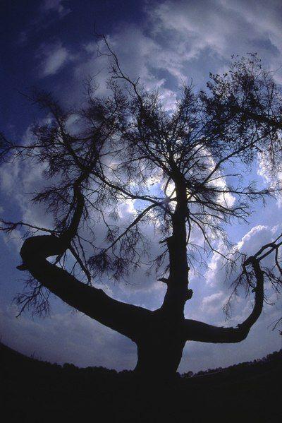 Печально известная сосна в зоне отчуждения ЧАЭС (4 фото)