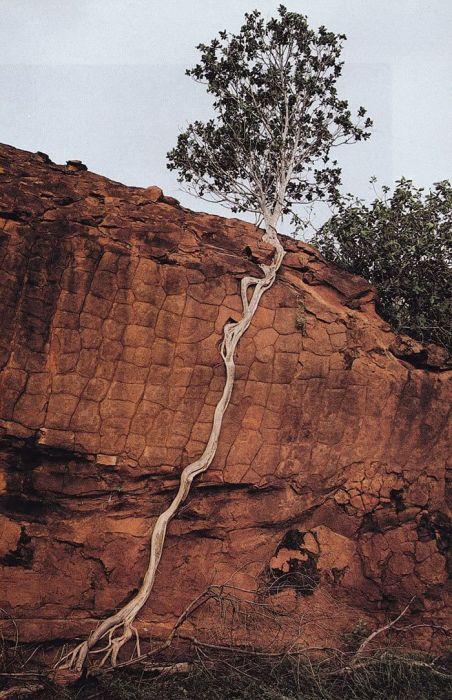 Необычно растущие деревья (20 фото)