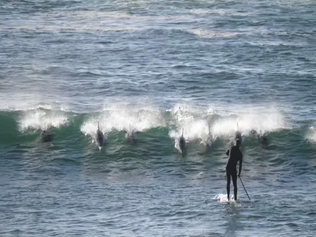 Встреча сапсёрфера со стаей дельфинов