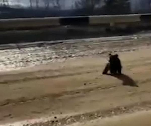 Медвежонок на трассе в Якутии