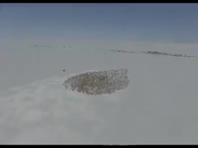 «Хоровод» северных оленей