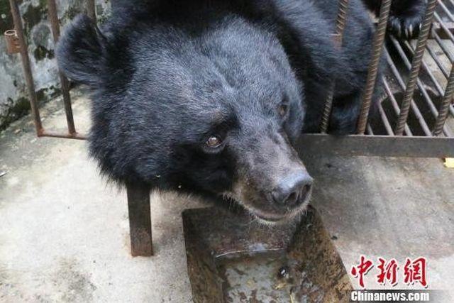 Китаянка два года растила медведя, думая, что это тибетский мастиф (4 фото)