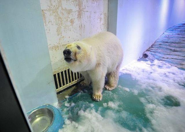 «Cамый грустный белый медведь в мире» спустя два года (4 фото + видео)