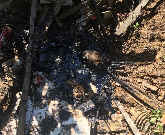 Спасение щенка из ямы с битумом (6 фото + видео)