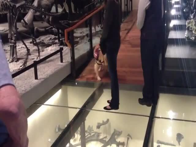 Стеклянный пол напугал собаку