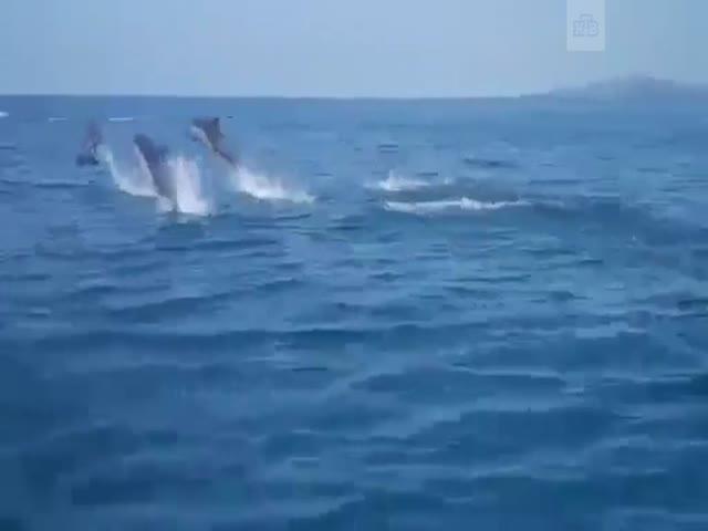Дельфины соревнуются с прогулочным катером