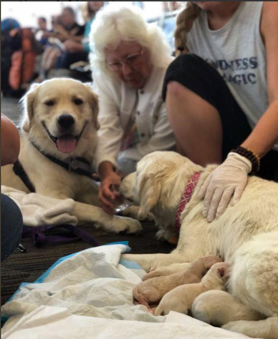 Собака-поводырь родила 8-х щенков в аэропорту (4 фото)