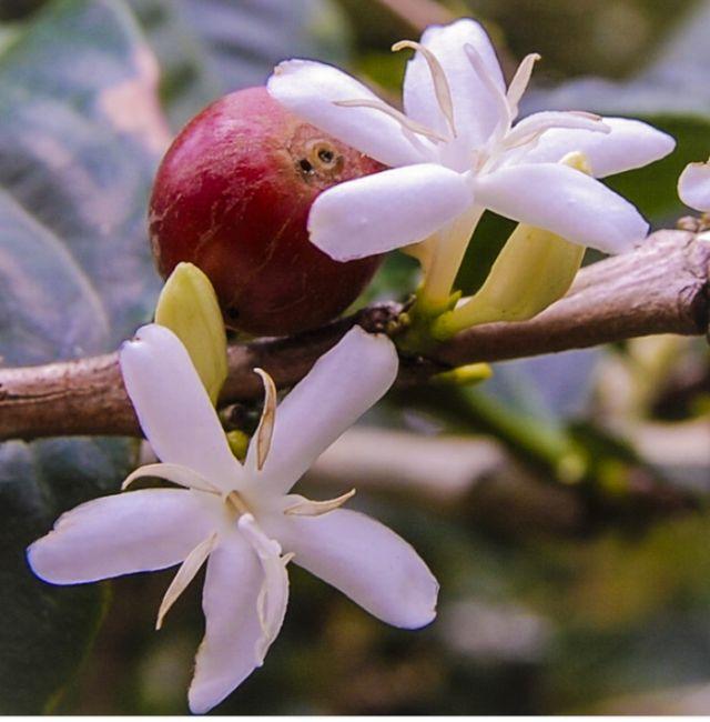 Как цветет кофейное дерево (5 фото)