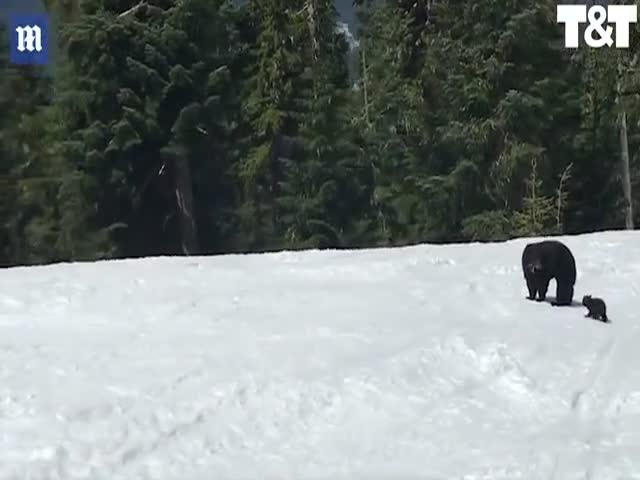 Встреча лыжника с медведицей и медвежонком
