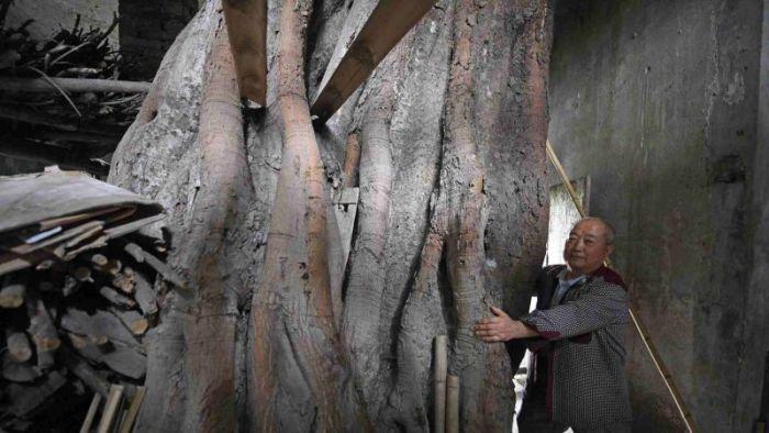 Дом, в котором растет 400-летнее дерево (6 фото)