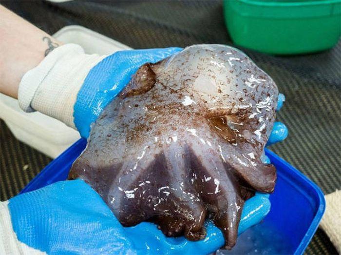 Глубоководные животные (17 фото)