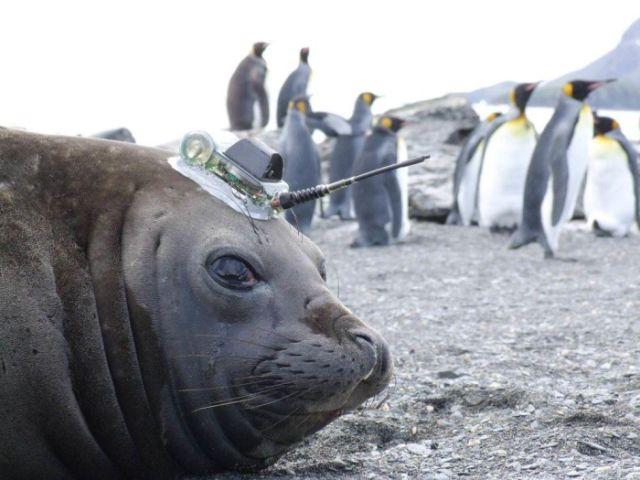 Как тюлени помогают исследователям в изучении Антарктики (6 фото)
