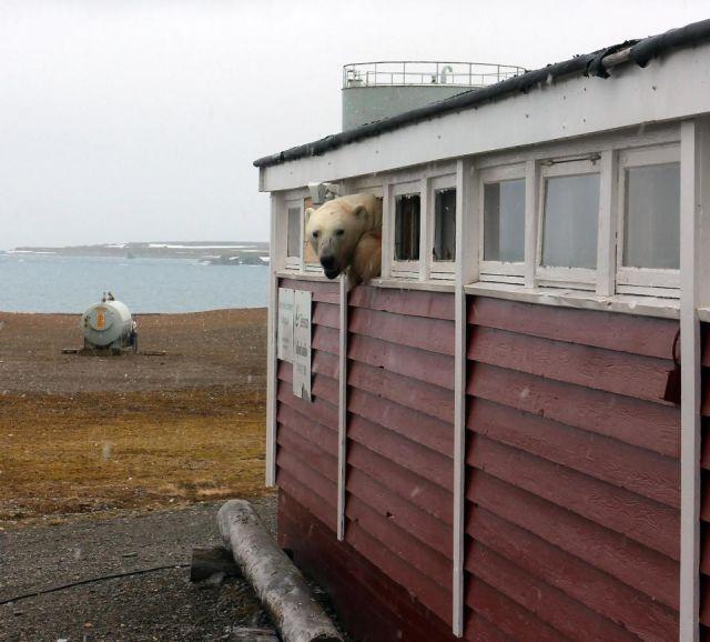 Незваный гость в гостинице на острове Шпицберген (5 фото)