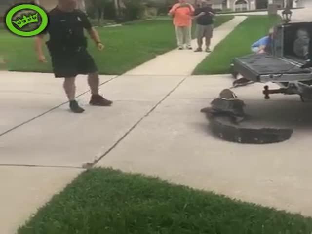 Связанный крокодил нокаутировал мужчину