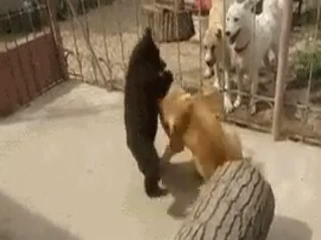 Борьба медвежонка и собаки