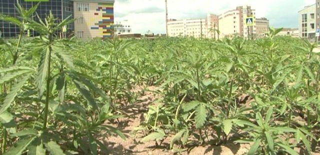 У здания Верховного суда Хакассии разрослось поле конопли (3 фото)