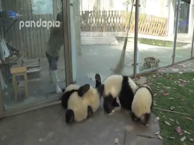 Панды мешают женщине выполнять свою работу