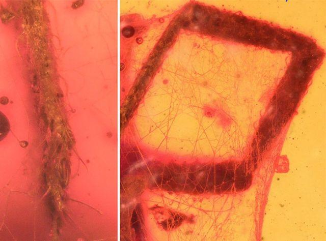 В Бирманском янтаре обнаружили клеща, жившего около 99 млн лет назад (3 фото)