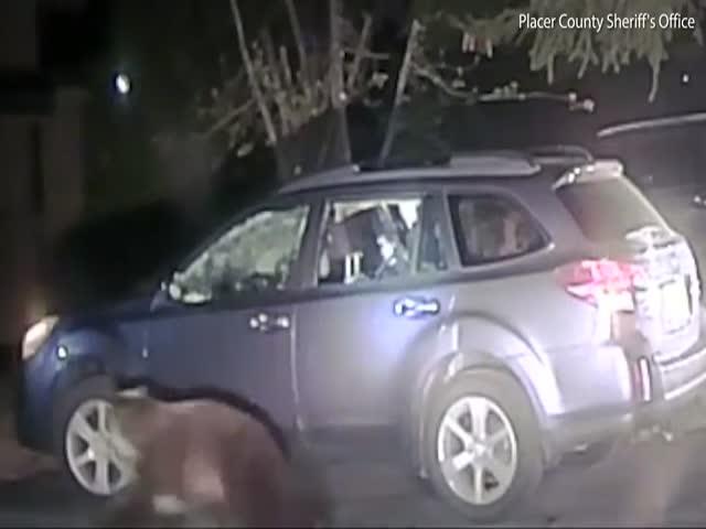 Помощник шерифа помог застрявшему медведю выбраться из авто