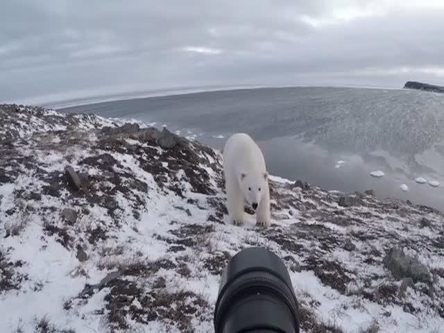 Как фотографируют белых медведей