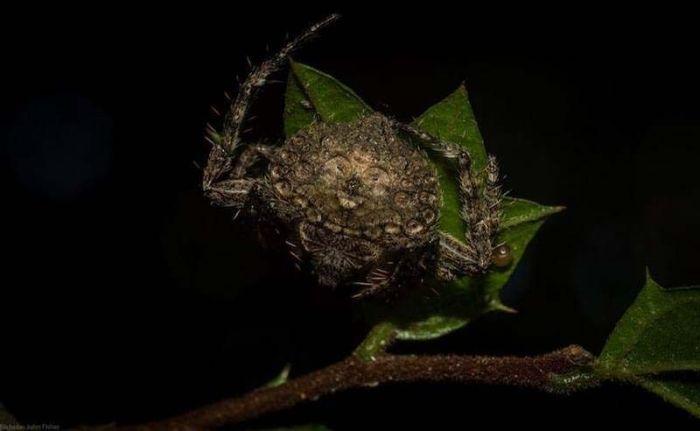 """""""Охватывающие пауки"""" - настоящие мастера маскировки (7 фото)"""