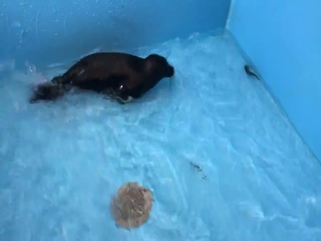 Спасенный нерпёнок ловит рыбу и привыкает к холодной воде