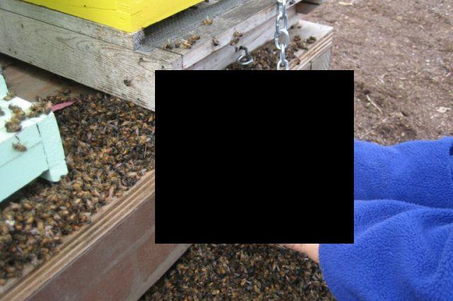 Реакция пчёл на ГМО-культуры (3 фото)