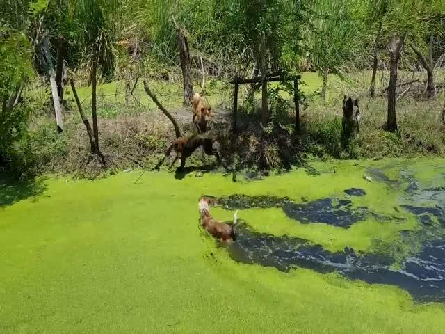 Агрессивные собаки напали на огромного варана в Таиланде