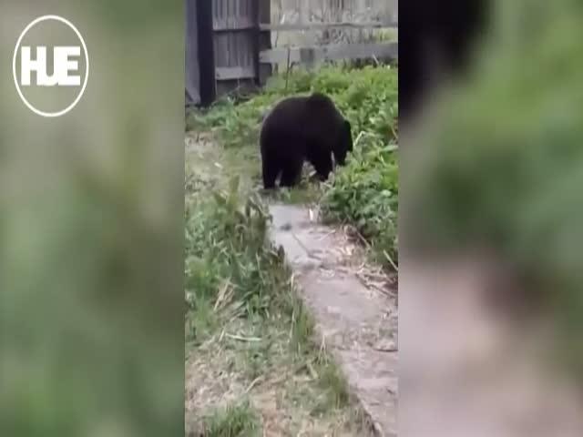 На Сахалине медведь пришел на запах шашлыков