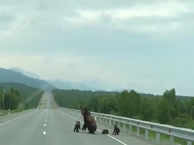 Медведица с медвежатами решила погреться на проезжей части