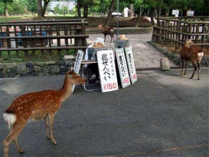Японский город Нара, по которому гуляют сотни оленей (14 фото)